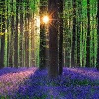 Il existe en Belgique une mystérieuse forêt entièrement tapissée de jacinthes