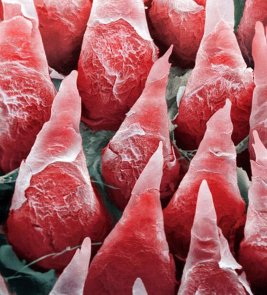 Une image microscopique d'une langue humaine